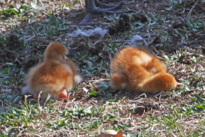 Rusty and Red - The day the sandhill cranes were born